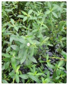 Alligator Weed picture